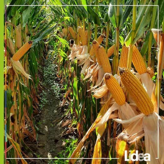 Discover the latest seeds trends and developments with Agritel & Lidea!