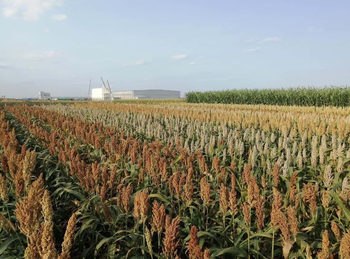 Panicles at maturity, leaves steyed green: the secret of sorghum harvest